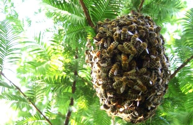 Приобретение пчелиных роев