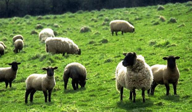 Профилактика и лечение заболеваний овец и коз