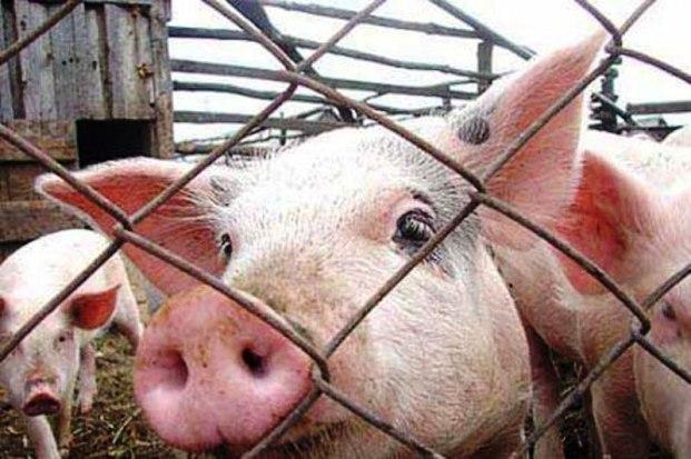 Профилактика, лечение заболеваний свиней