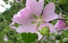 Растение-медонос алтей