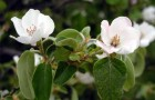 Растение-медонос айва обыкновенная