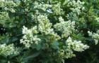 Растение-медонос бирючина обыкновенная