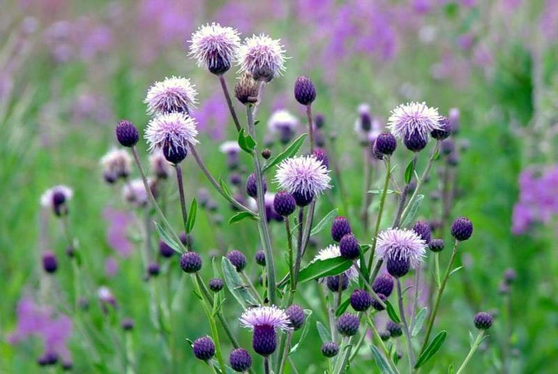 Растение-медонос бодяк полевой