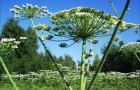 Растение-медонос борщевик