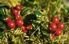 Растение-медонос брусника обыкновенная