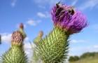 Растение-медонос чертополох