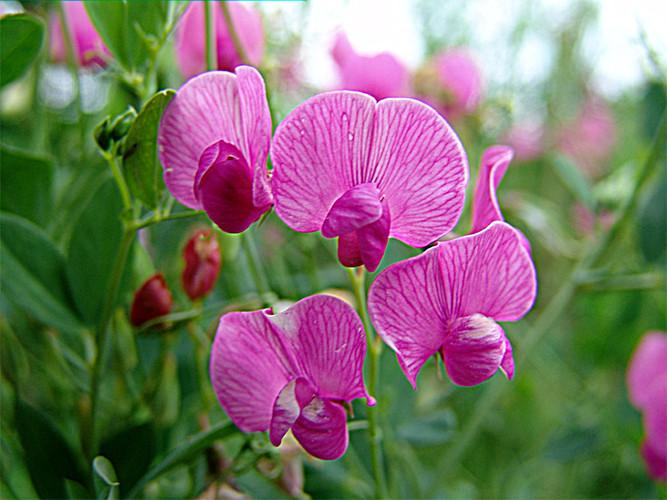 Растение-медонос чина