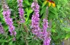 Растение-медонос дербенник-плакун