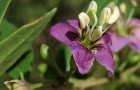 Растение-медонос дереза (лициум)
