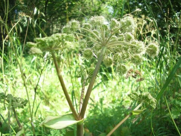 Растение-медонос дудник