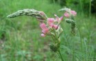 Растение-медонос эспарцет
