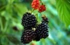 Растение-медонос ежевика сизая (ожина)