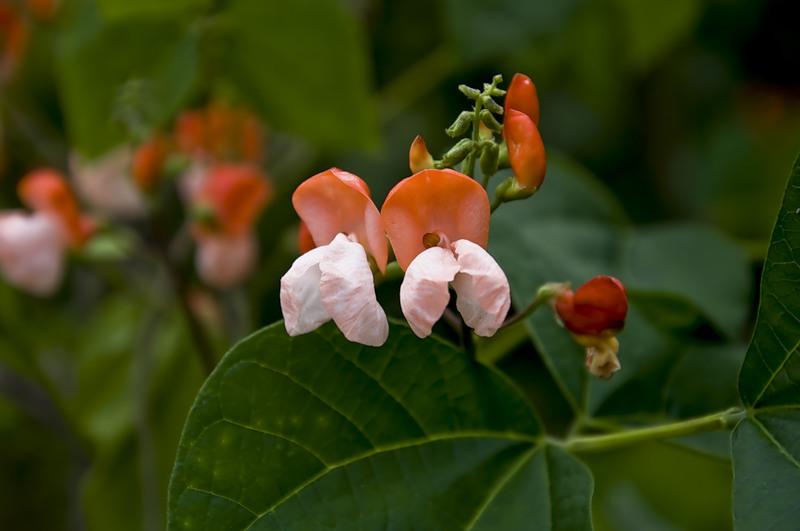 Растение-медонос фасоль