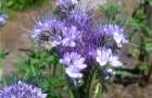 Растение-медонос фацелия рябинколистная