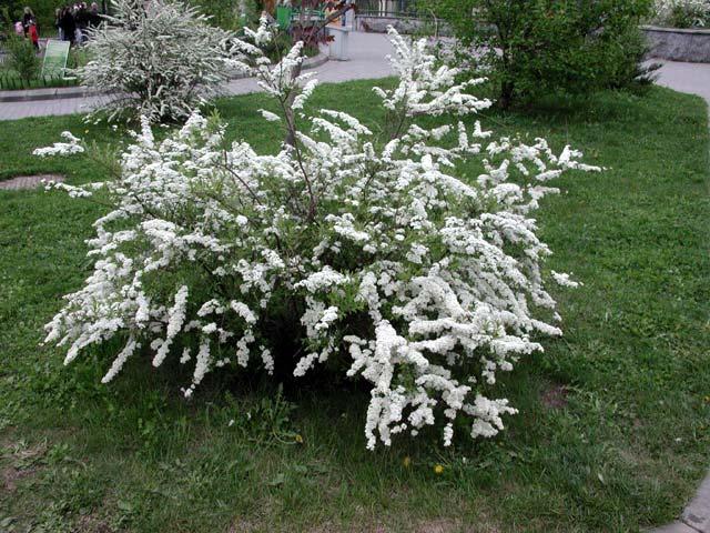 Растение-медонос гледичия