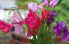 Растение-медонос горошек