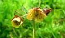 Растение-медонос гравилат речной