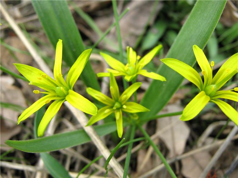 Растение-медонос гусиный лук