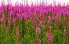 Растение-медонос иван-чай