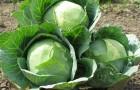 Растение-медонос капуста