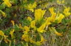 Растение-медонос карагана