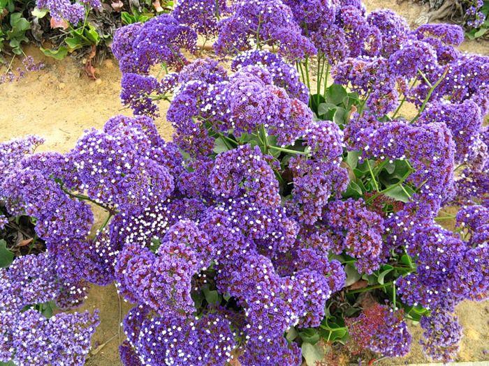 Растение-медонос кермек
