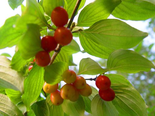 Растение-медонос кизил настоящий
