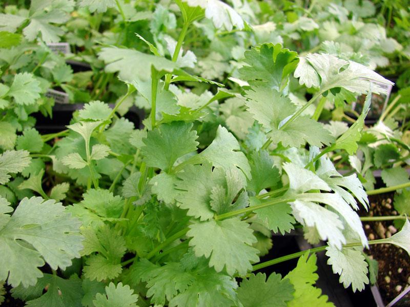 Растение-медонос кориандр