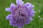 Растение-медонос короставник полевой