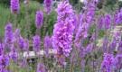Растение-медонос котовник