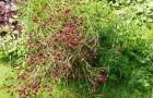 Растение-медонос кровохлебка