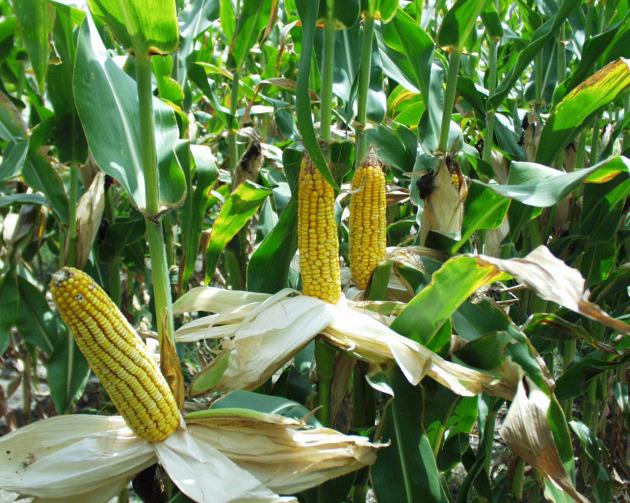 Растение-медонос кукуруза (маис)