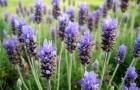 Растение-медонос лаванда колосовая