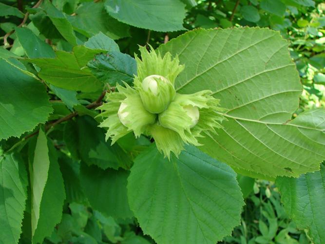 Растение-медонос лещина (орешник)