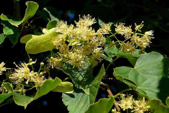 Растение-медонос липа