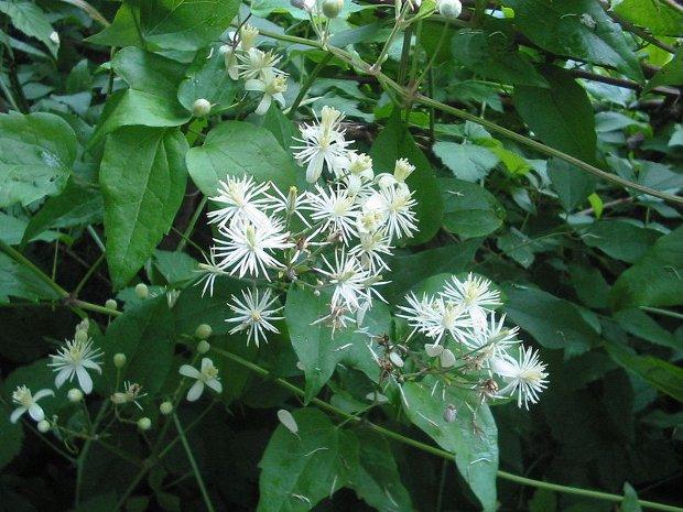 Растение-медонос ломонос