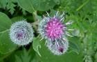 Растение-медонос лопух