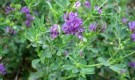 Растение-медонос люцерна