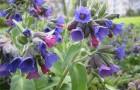 Растение-медонос медуница