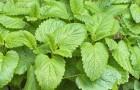 Растение-медонос мелисса лекарственная (мята лимонная)