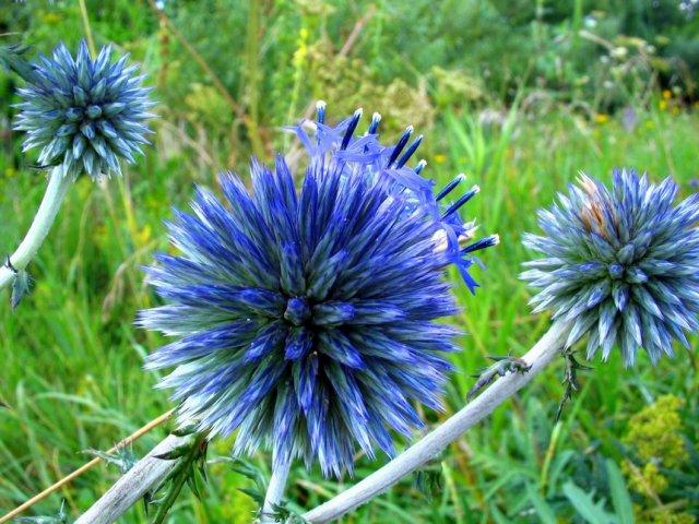 Растение-медонос мордовник