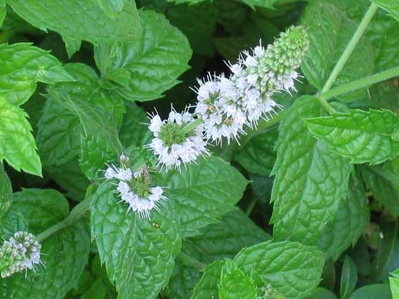 Растение-медонос мята