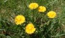 Растение-медонос одуванчик лекарственный