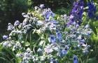Растение-медонос огуречная трава (бурачник лекарственный)