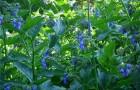 Растение-медонос окопник