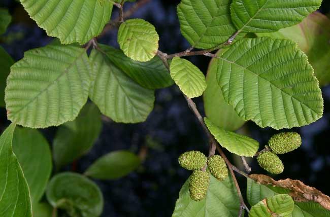 Растение-медонос ольха