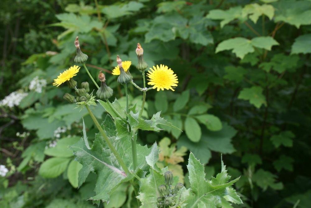 Растение-медонос осот