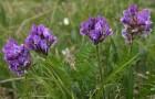 Растение-медонос остролодочник