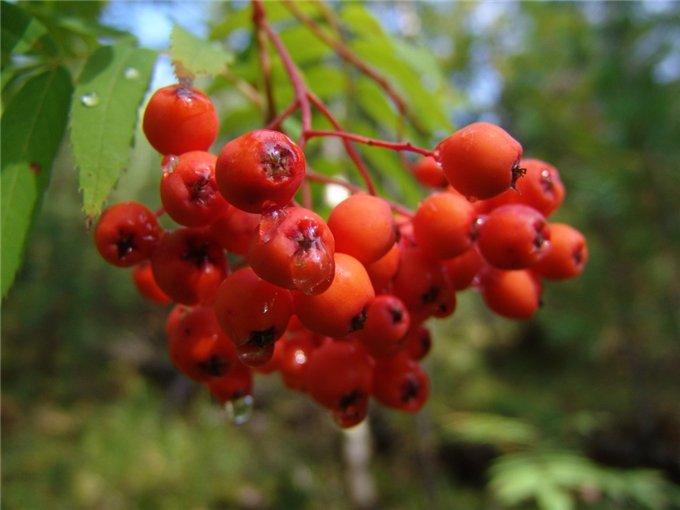 Растение-медонос рябина
