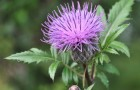 Растение-медонос серпуха венценосная